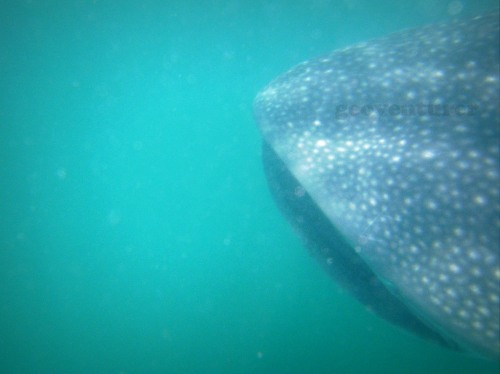 The whale shark's mouth