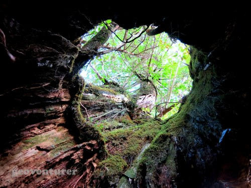 Inside a hollow cedar tree