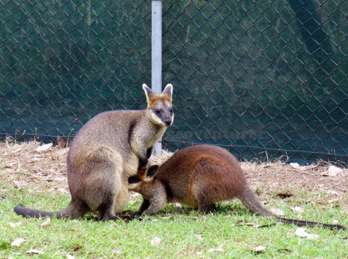 A wallaby feeding her joey