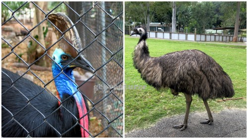The cassowary (left) and the emu (right)