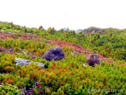 Rock ptarmigans ライチョウ - raicho (Lagopus mutus)