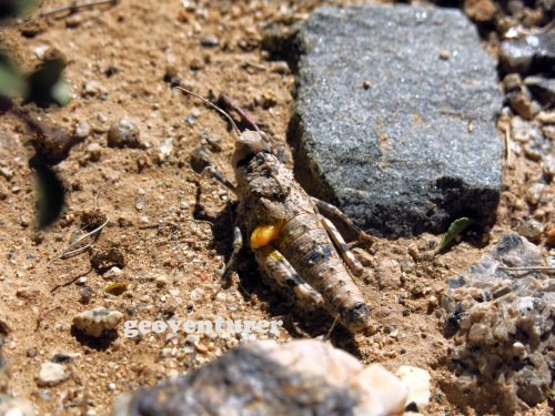 A grasshopper mimicking the granite rocks in the desert. Amazing stuff!